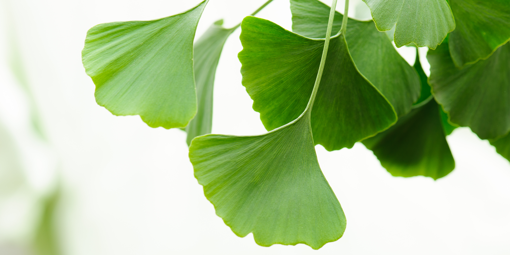 What's the Big Deal About Ginkgo Biloba?